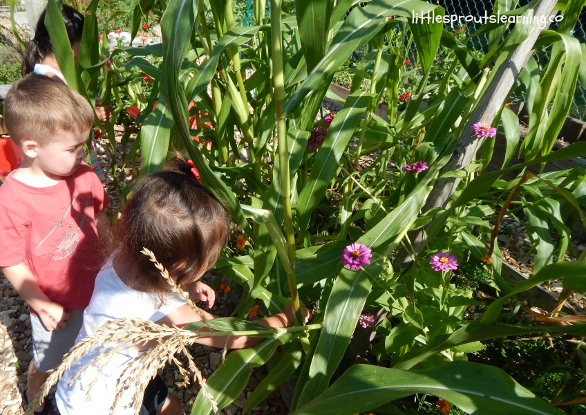 kids harvesting plants from the three sisters companion planting plan