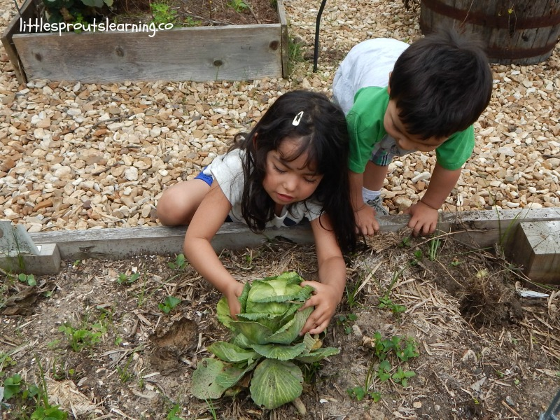 harvesting cabbage with kids