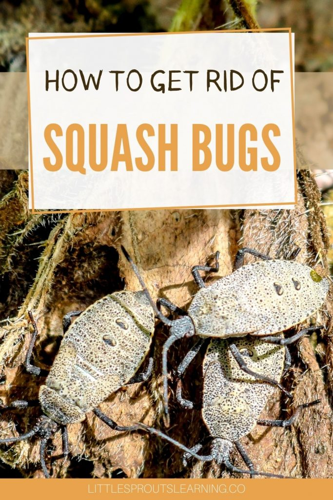 Do you want to get rid of squash bugs as much as I do? In our children's garden, we hardly ever grow even a single squash. Here's what I've learned.