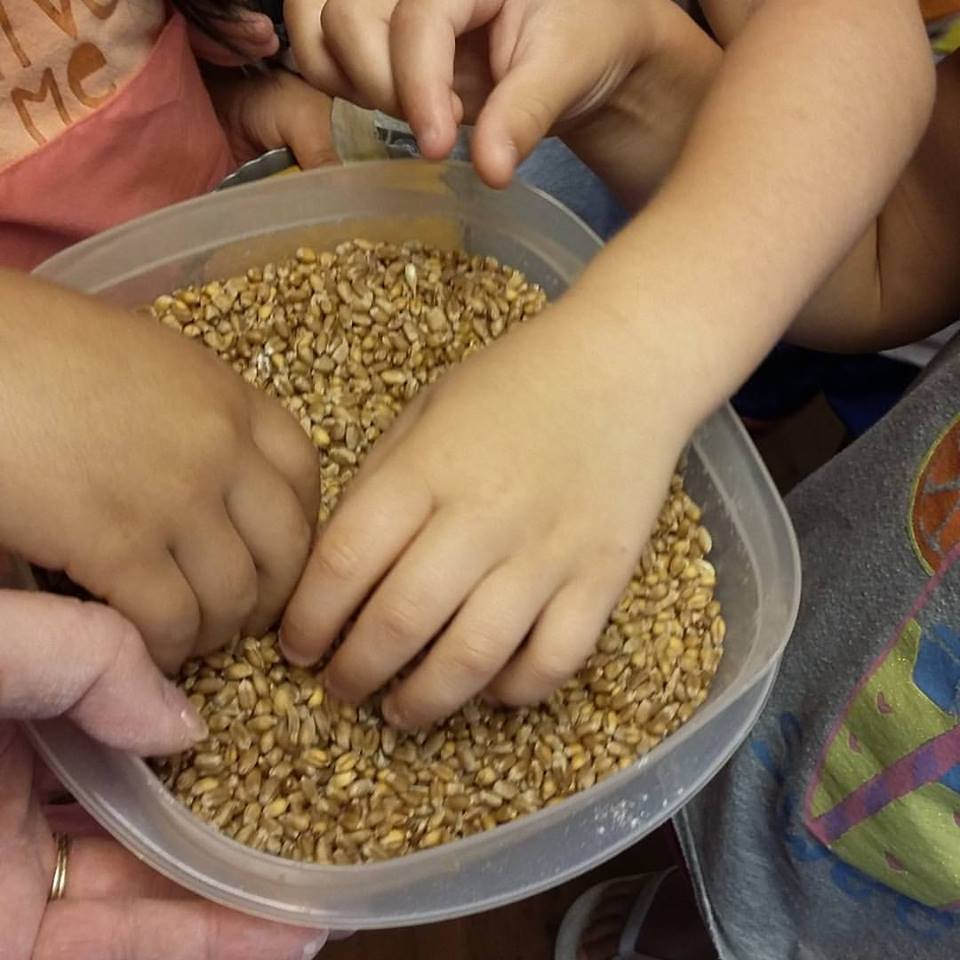 home grown wheat berries in a bowl in the middle of a group of kids feeling what they feel like