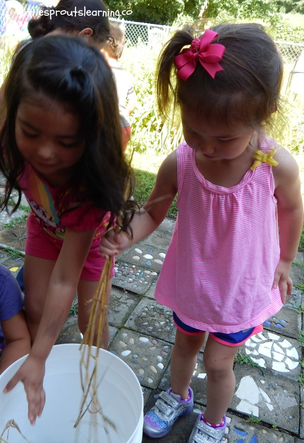 growing food with kids, two girls standing over a bucket with heads of wheat, shaking the seeds out of them.