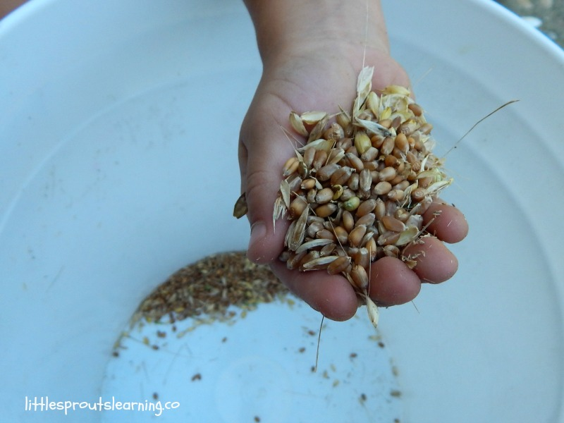 kids growing food, learning where flour comes from, a child's hand full of wheat berries shaken from seed heads.
