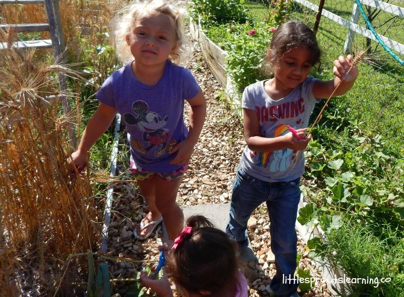 kids harvesting wheat
