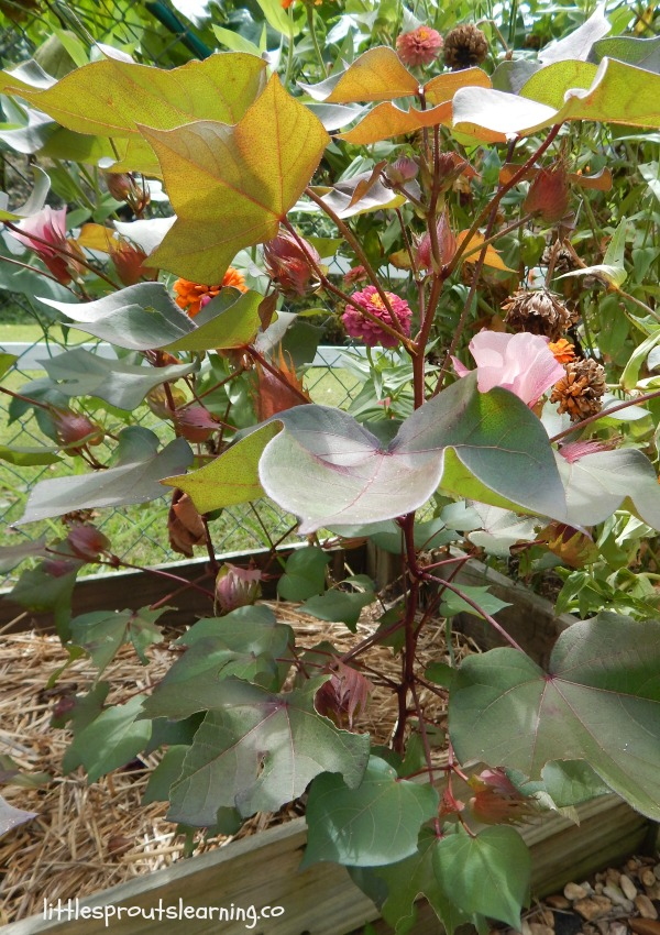 cotton plants in the vegetable garden