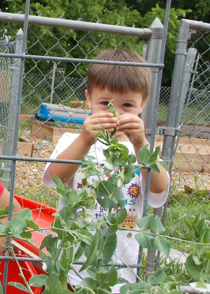 child in the children's garden preschool picking peas off the vine and showing the pea pod he got.