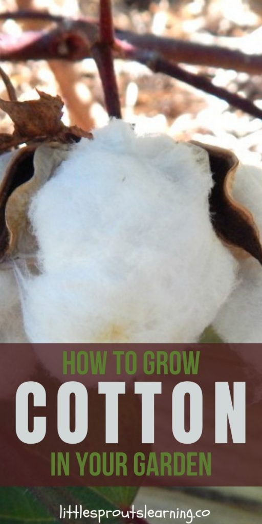 You can learn how to grow cotton in your garden and it's pretty simple to do. We grew cotton in the preschool garden to learn how clothing is made.