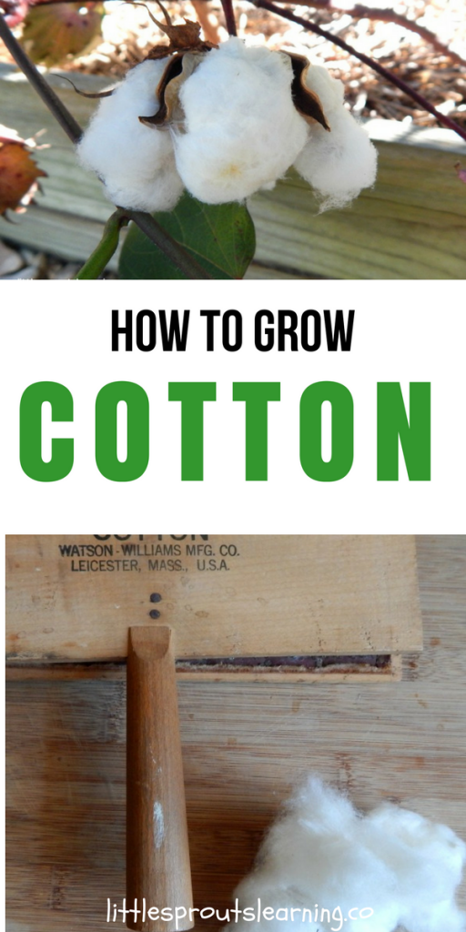 How to Grow Cotton