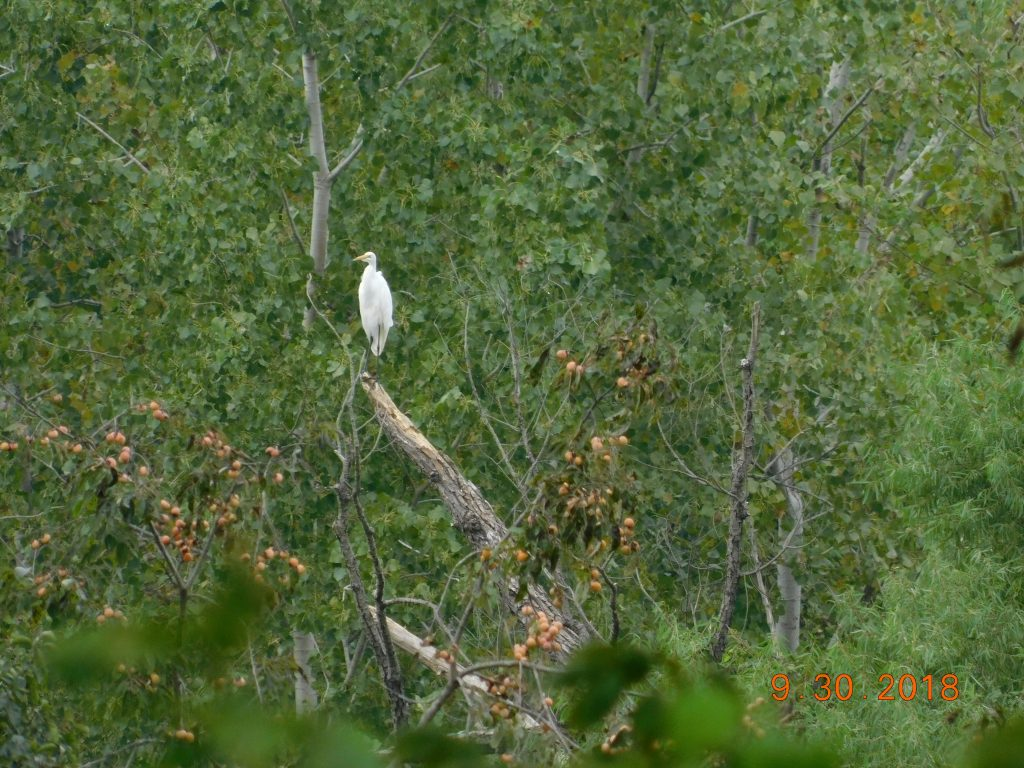 Sequoyah National Wildlife Refuge in vian, crane in tree.
