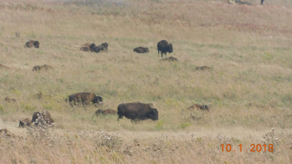 Tall grass prarie in pawhuska, oklahoma bison standing in herd
