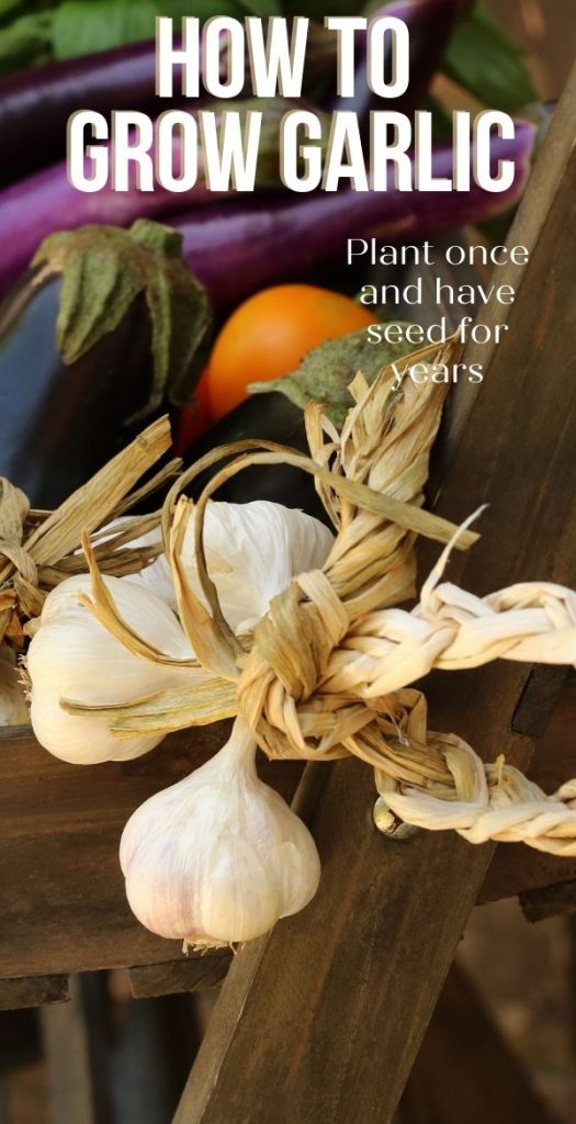 Grow your own garlic? Why would anyone want to grow garlic when it's right there at the store? There are more reasons than you might think.
