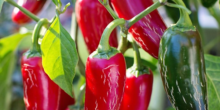 Man does my husband ever love hot peppers. There are so many ways you can preserve excess hot peppers from the garden to enjoy later!