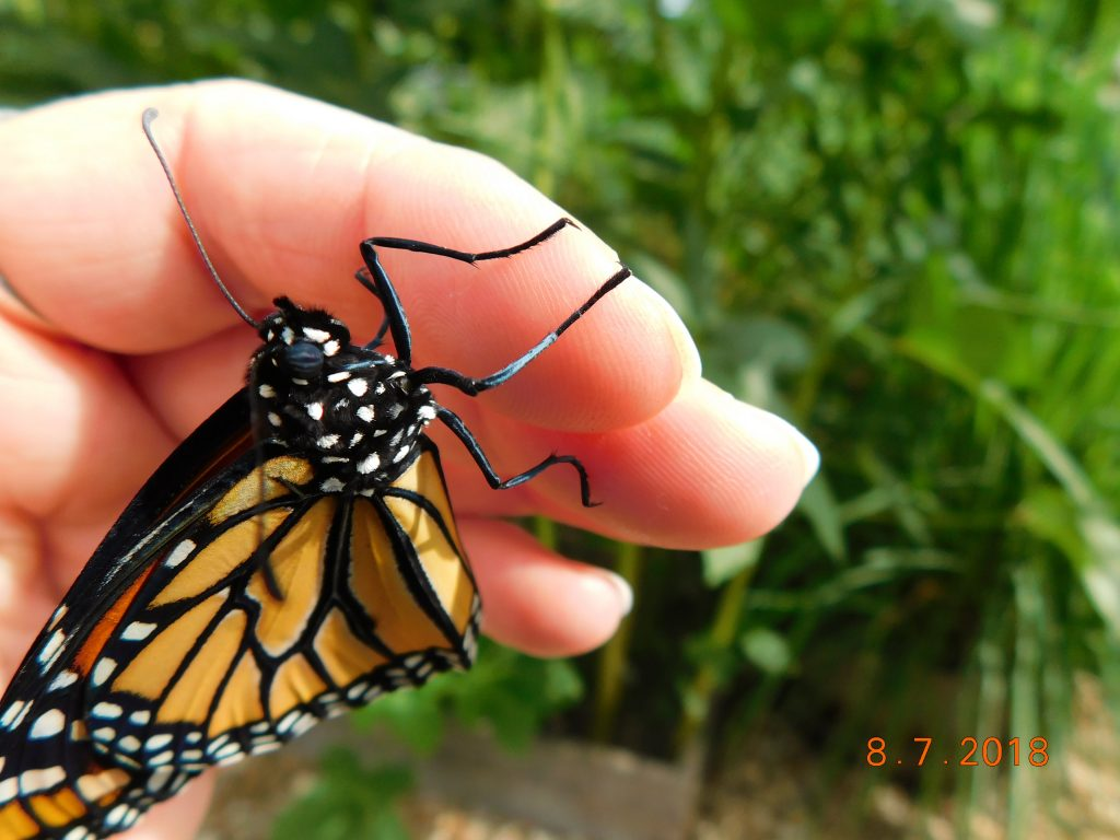 monarch butterfly crawling on fingers