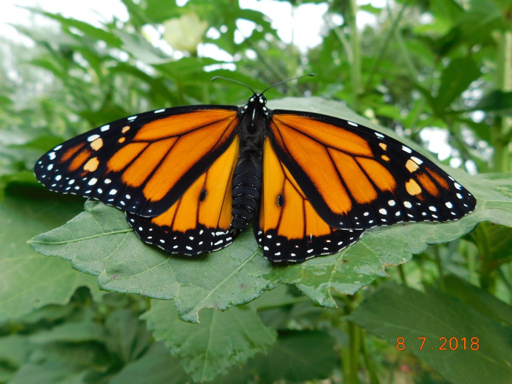 Monarch butterfly sitting on okra plant