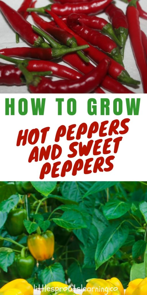 How to Grow Hot Peppers and Sweet Peppers