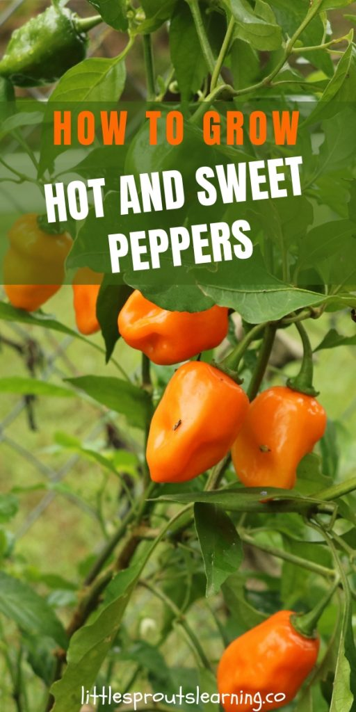 You can grow hot peppers and sweet peppers to add nutrition and flavor to your dishes. You just need a few things for success.