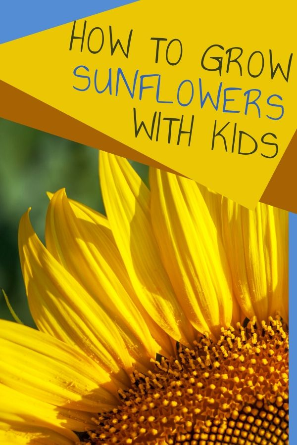 Why not grow sunflowers with kids? Sunflowers are gorgeous, draw pollinators, look gorgeous, make food for birds, and are edible. You just need a few sunflower seeds, a patch of dirt and plenty of water and sunshine to grow a great sunflower garden.