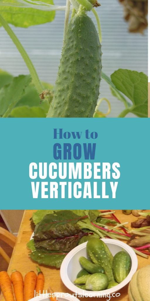 One of my favorite things to grow in the garden is cucumbers. They are so much better than store bought. Here's how to grow cucumbers vertically.