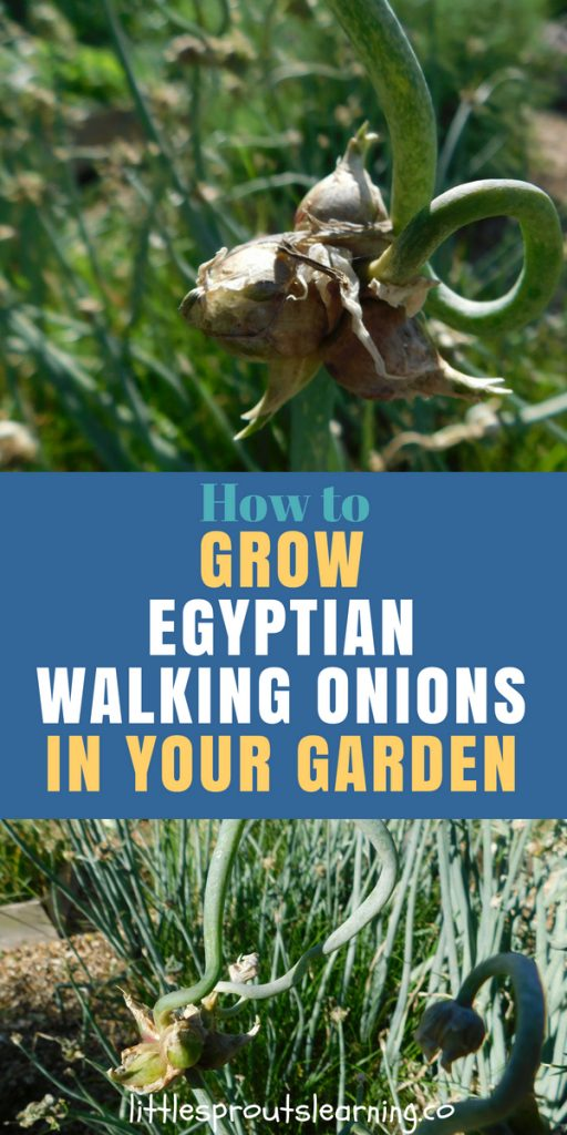How to grow egyptian walking onions in your vegetable garden
