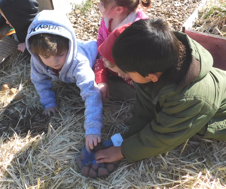 kids planting potatoes together in the garden