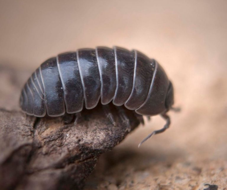 Benefits of Rollie Pollies and Other Bugs That Will Surprise You
