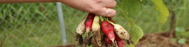 Growing radishes is super simple. They are one of the easiest vegetables to grow in your garden. They grow great in containers too. Find out more