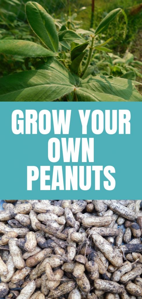 Peanut growing and harvesting is super easy if you have a nice long hot summer. We tried growing peanuts this past garden season and it was really cool.