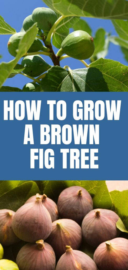 If you are looking for an unusual fruit tree for your landscape that is a gorgeous ornamental plant as well, you might want to grow a brown fig tree.