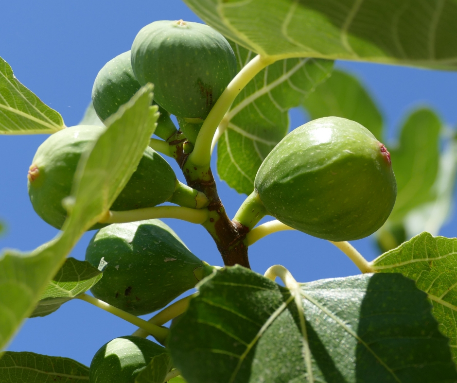 Brown fig bush with green underripe figs