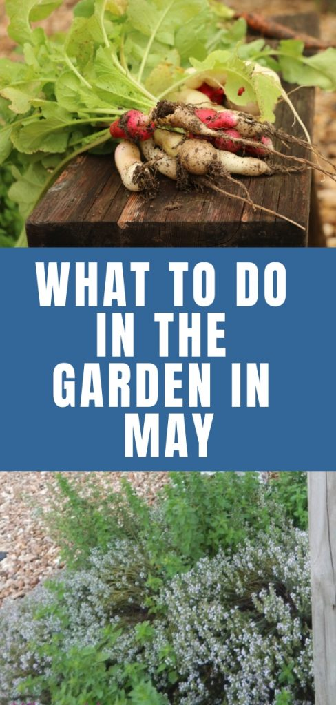 In zone 7 the garden is really picking up in May. Find out more about what needs to be done in the garden during this time of year.