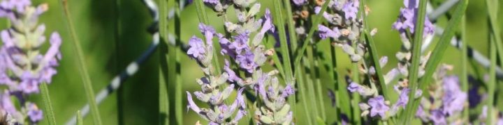 Lavender is a wonderfully versatile herb with tons of culinary and medicinal uses. You can grow lavender for yourself at home and save a ton of money.