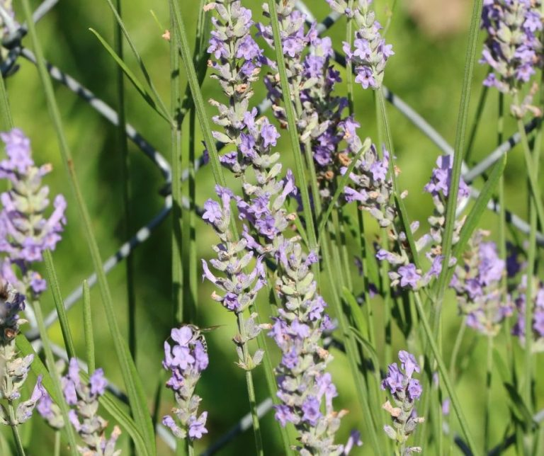 How to Grow Lavender and Use It
