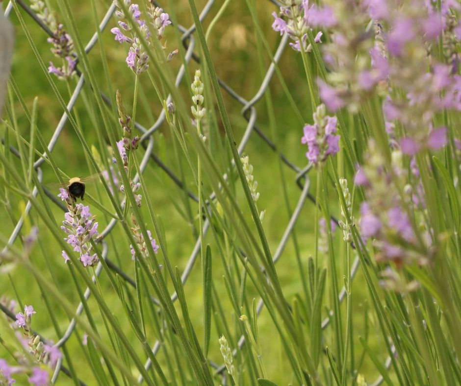bee on lavender in the garden