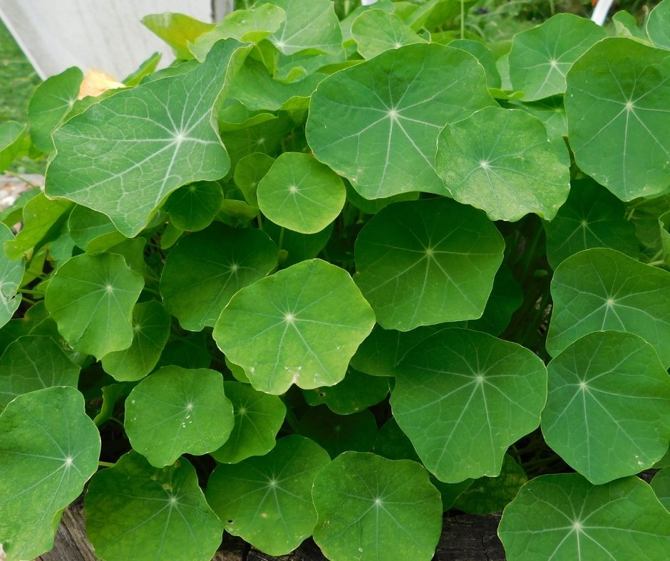 Nasturtium leaves in a round mound on the plant