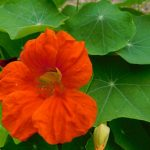 Growing nasturtiums gives you beauty, draws pollinators, are even attract garden pests away from your vegetable plants in the garden.