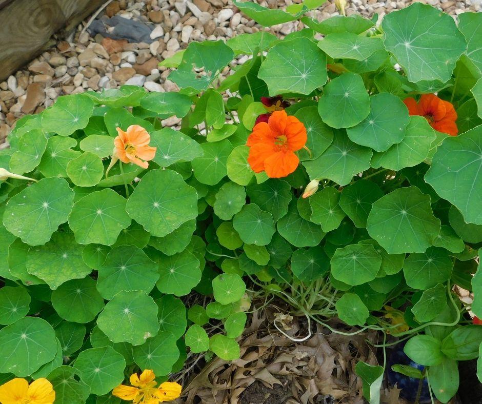 Yellow and orange nasturtiums on the plant