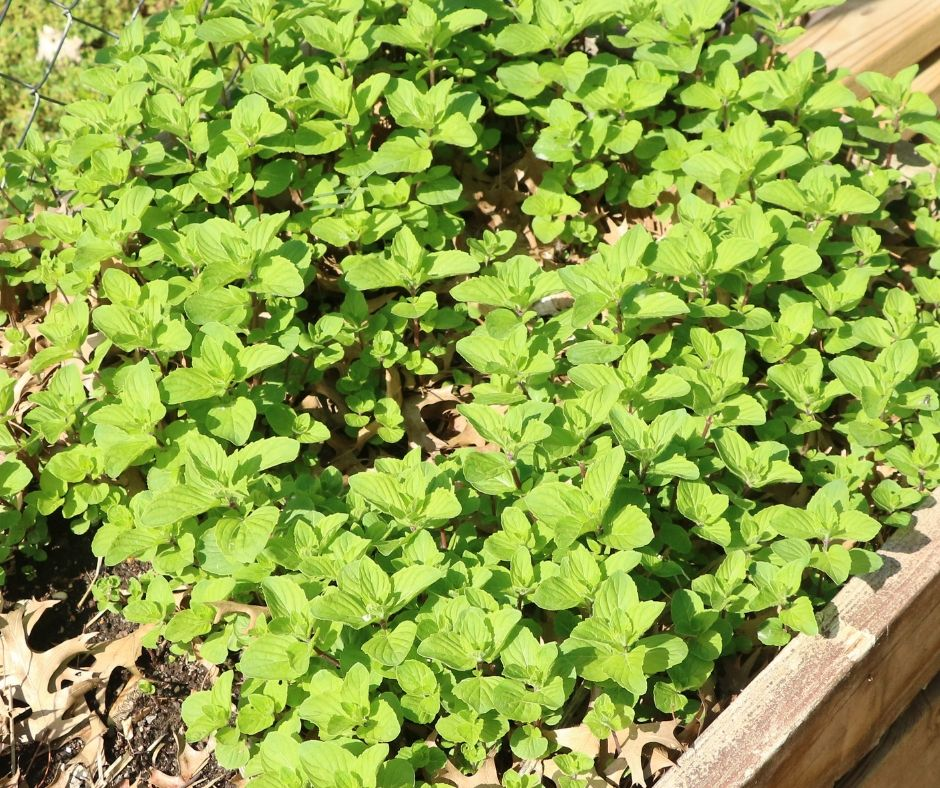 mint bed in the garden