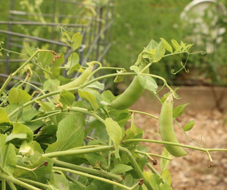 Growing Sweet Peas in the Garden