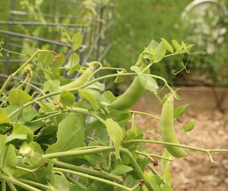 Growing Sweet Peas In The Garden Little Sprouts Learning