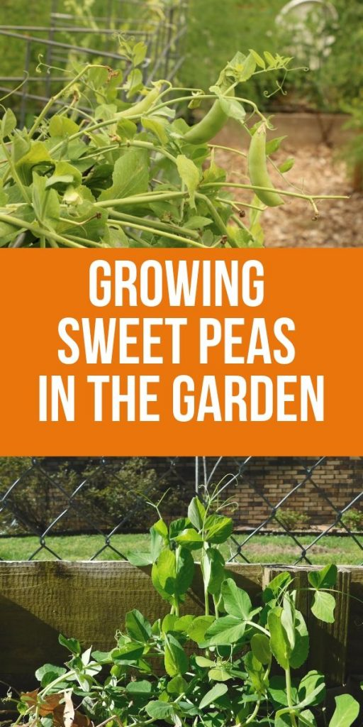 Sweet peas are easy to grow and take up very little space in the garden. If you're already growing a spring or fall garden, tuck a few pea seeds along the fence and let them do their thing.