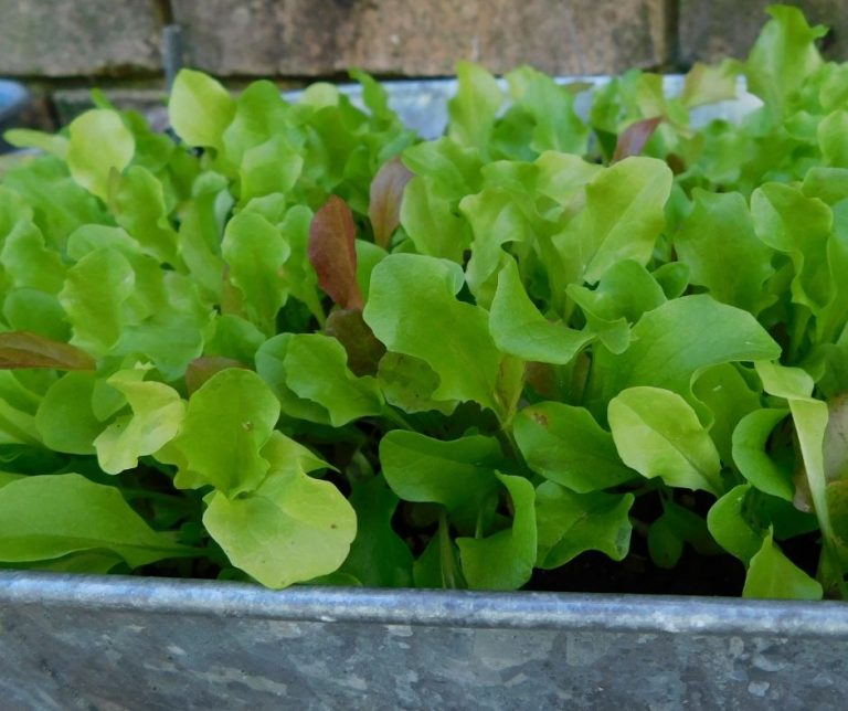 How to Grow Lettuce