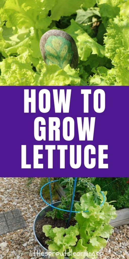Homegrown lettuce is lightyears away from store-bought lettuce. Grow lettuce at home and you'll be hooked for life!