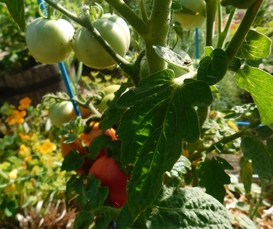 tomato plant with red and green tomatoes on it.