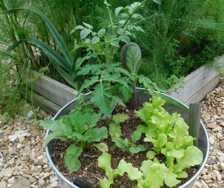 bucket gardening with lettuce, radishes and tomatoes growing in a metal bucket in front of a raised bed with a garden marker for lettuce made of a wooden spoon and lettuce painted on it.