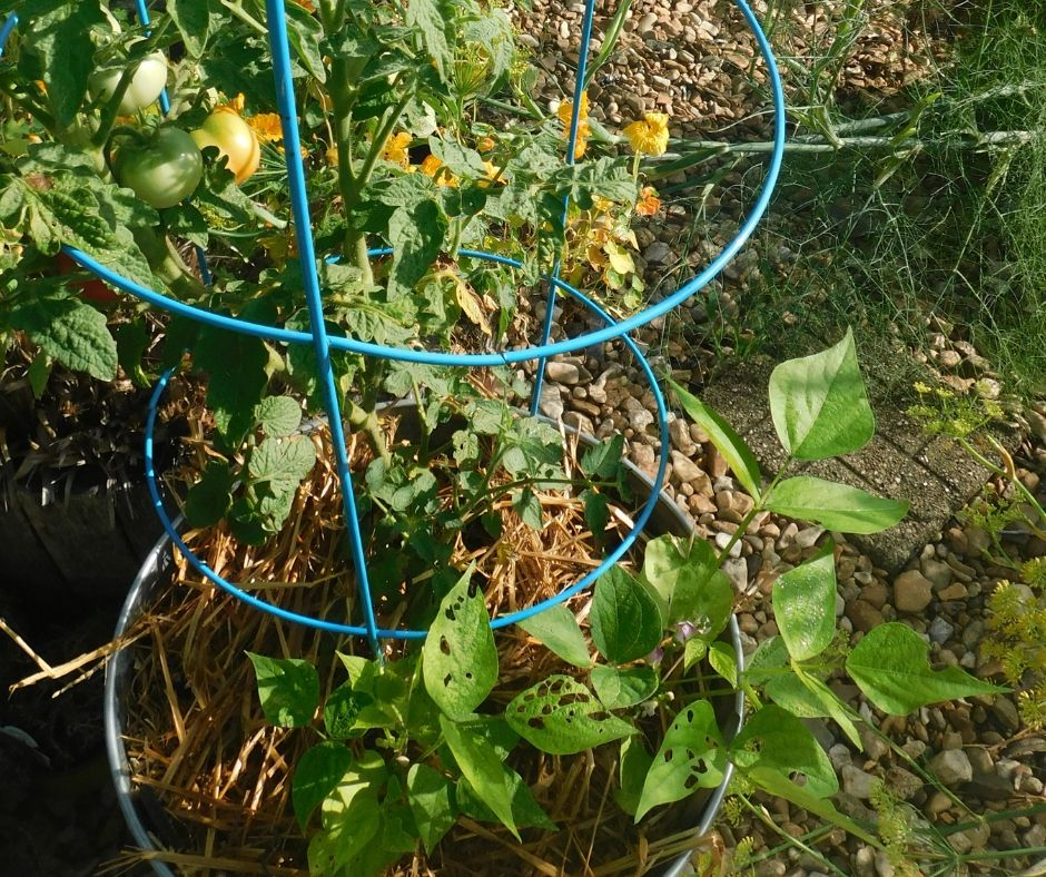 bucket garden with nice tomatoes growing on plant and green bean plants growing well, soil is mulched on top with straw