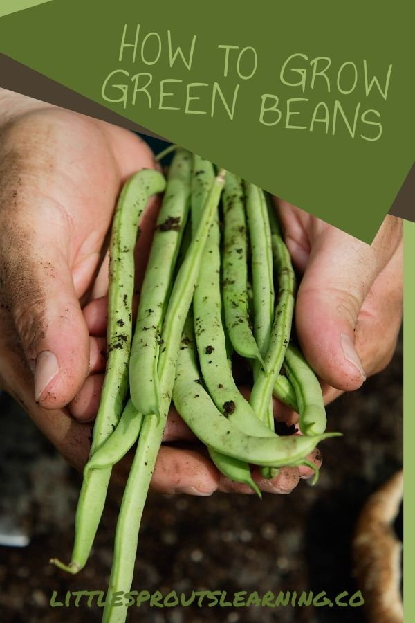 Growing pole and bush green beans can be one of the most rewarding gardening experiences. They are easy to grow, have few pests and taste amazing!
