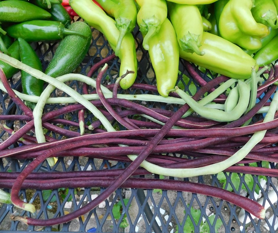 asian long beans and peppers from the garden