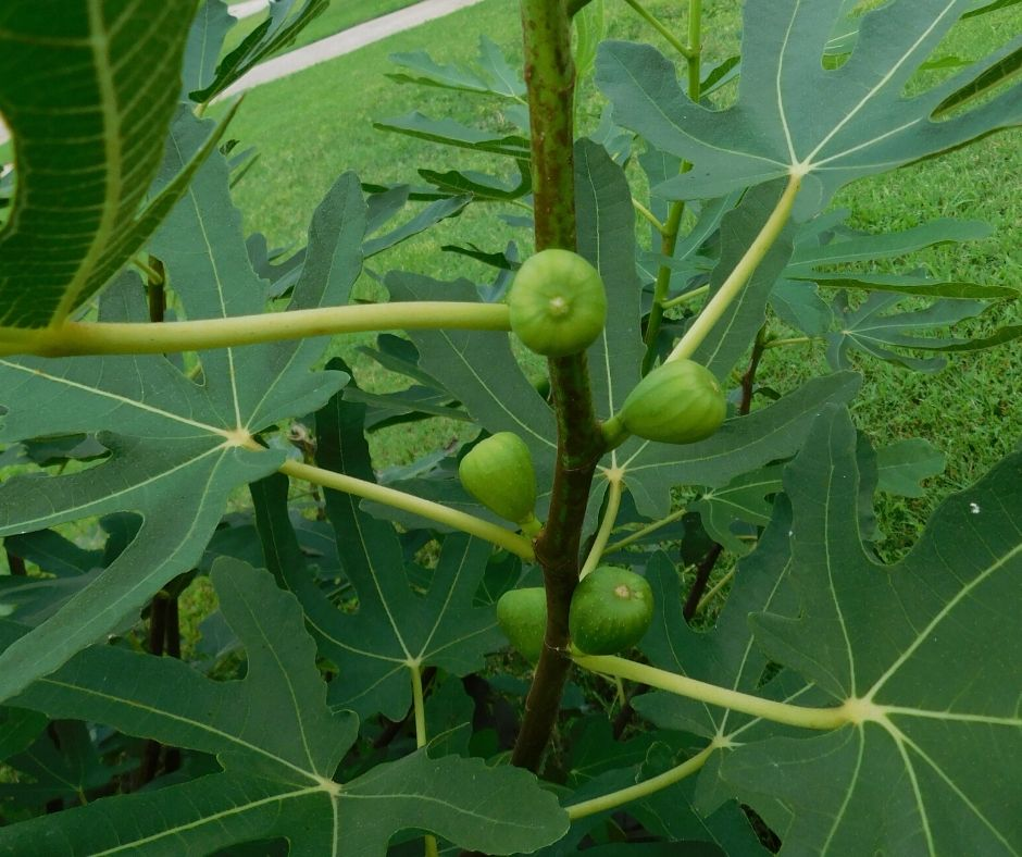 figs growing on a fig bush