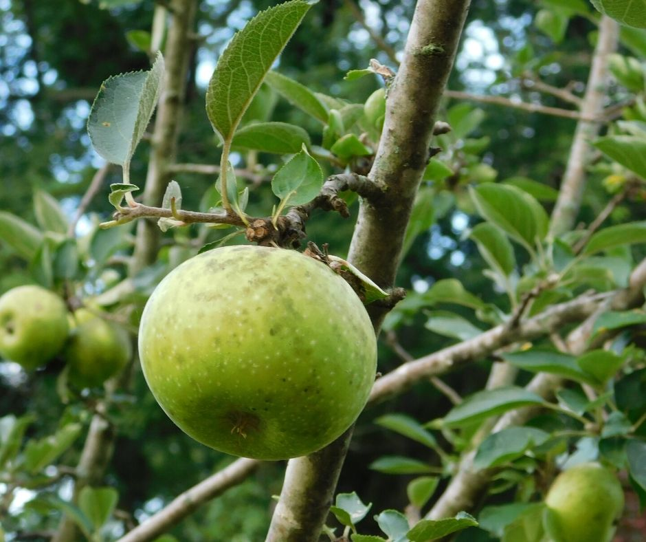 apple growing on apple tree how to grow fruit