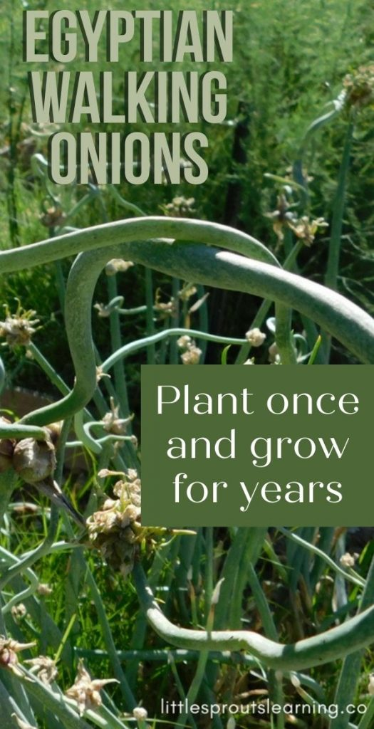 EGYPTIAN WALKING ONIONS: Did you know there were perennial onions that keep growing in your vegetable garden without replanting?