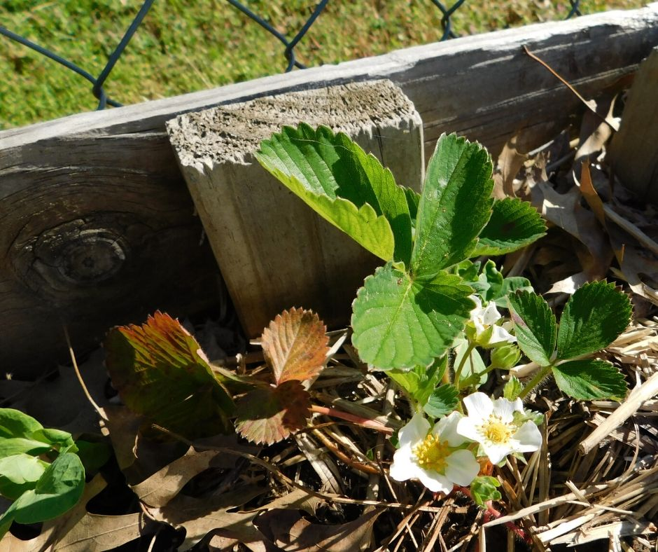 strawberry plants growing